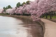 Cherry Blossom Trees Along The Tidal Basin in Washington DC. Stock Photos