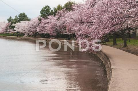 Stock photo of Cherry Blossom Trees Along The Tidal Basin in Washington DC.