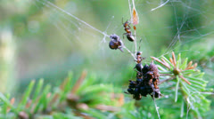 Red wood ants foraging in a spider web 2 Stock Footage