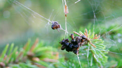 Red wood ants foraging in a spider web 4 Stock Footage
