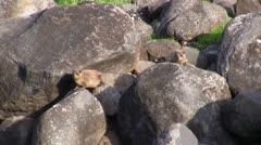 Rock Hyrax shrewmouse Hyracoid Stock Footage