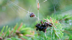 Red wood ants foraging in a spider web 5 Stock Footage