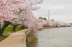 Cherry Blossoms Along The Tidal Basin, Washington DC - stock photo