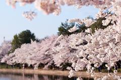 Cherry Blossoms Along The Tidal Basin, Washington DC Stock Photos