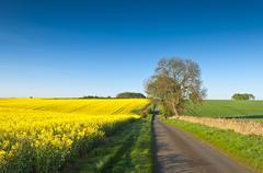 oilseed rape, canola, biodiesel crop - stock photo