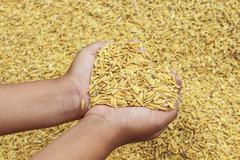 jasmin ripe rice - stock photo