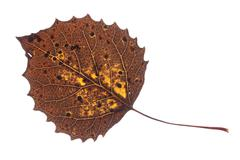 colorful fall leaf isolated - stock photo