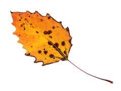 colorful fall leaf isolated - stock photo