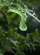 Tobacco hornworm (manduca sexta) hanging upside down from a tomato plant. Stock Photos