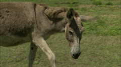 Donkey in field, Guana Stock Footage