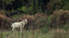 Two Feral Goats in NZ. Stock Footage