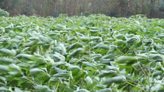 Cassava or manioc plant field with wind blow in Thailand Stock Footage