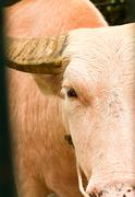 An albino water buffalo close-up Stock Photos