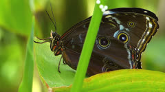 Butterfly OWL on leaf Caligo memnon Stock Footage