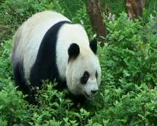 Giant Panda walking - stock footage