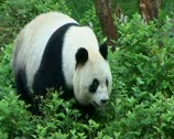 Stock Video Footage of Giant Panda walking