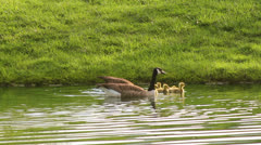 Cute baby geese swimming with parents Stock Footage