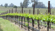 Grape Vines in a Row in Napa Valley, California Stock Footage