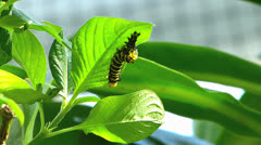 Butterfly monarch caterpillar molting to cocoon pupa Danaus plexippus Stock Footage