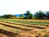 Agricultural industry. growing vegetable on field in nakorn rtchasima, thaila Stock Photos