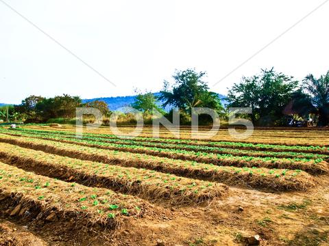 Stock photo of agricultural industry. growing vegetable on field in nakorn rtchasima, thaila