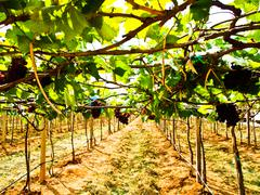 bunch of red grapes  with green leaves in wine yard in nakorn ratchasima, tha - stock photo