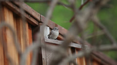 Young birds leave nest box Stock Footage