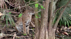 Bobcat with one blue eye and one green eye. - stock footage