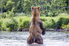 The brown bear fishes - stock photo