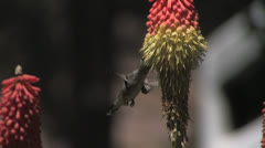 Insatiable Black-chinned Hummingbird finds fast-food bounty Stock Footage