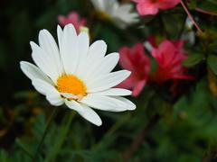 White cosmos flower in nature Stock Photos