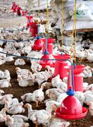 Poultry rearing farm Stock Photos