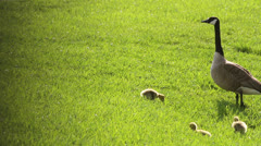 Cute baby geese with watchful parent Stock Footage