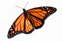 monarch butterfly (danaus plexippus) isolated - stock photo