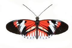 piano key butterfly (heliconius melpomene) - stock photo