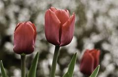 tulips at the cemetary - stock photo