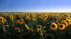 Field of sunflowers and the sun. Panorama - stock footage