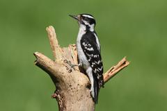 Downy woodpecker (picoides pubescens) Stock Photos