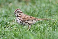 Song sparrow (melospiza melodia) Stock Photos
