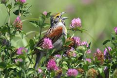 dickcissel (spiza americana) - stock photo