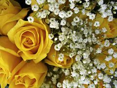 Yellow roses and baby's breath Stock Photos