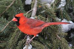 cardinal in snow - stock photo