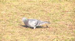 Pigeon,Peck,Turf Stock Footage