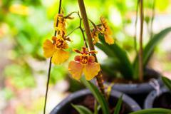 Dancing lady orchid (oncidium varicosum) Stock Photos