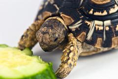 leopard tortoise - stock photo
