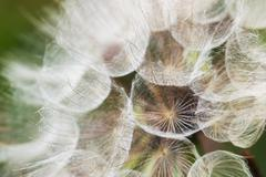 Dandelion with seeds Stock Photos