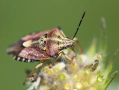 crawly sloe bug (dolycoris baccarum) - stock photo
