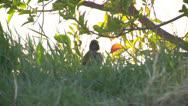 Starling2,Bird,Flock Stock Footage