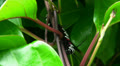 Big black white red caterpillar with long horns HD Footage