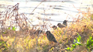 Starling5,Bird,Flock Stock Footage